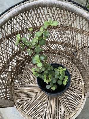 Jade plant for Sale in San Jose, CA
