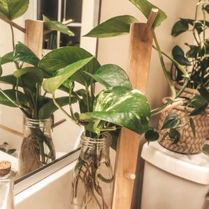 Water propagated golden pothos house plant for Sale in Chesapeake, VA