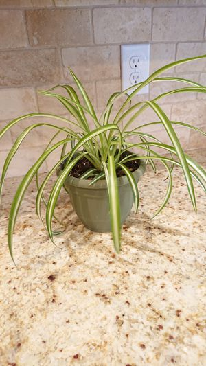 Healthy indoor plant for Sale in Arvada, CO