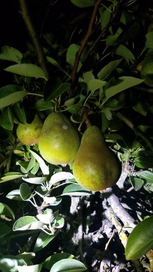 Organic Bartlett Pears for Sale in Forest Grove, OR