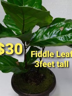 Real 3feet fiddle Leaf Plant $30 for Sale in Anaheim,  CA