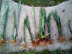 Snake Plant - Sale for Sale in Apopka, FL