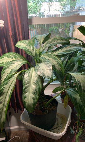 Med house plant healthy for Sale in Virginia Beach, VA