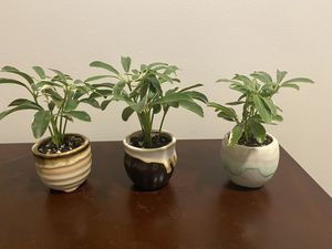 Baby Variegated Umbrella Plant for Sale in Simpsonville, SC
