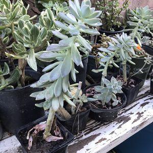 Succulent On Sale 5 Usd for Sale in Garden Grove, CA