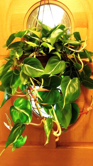 Beautiful and Fresh Brazilian Philodendron Pothos Plant in A Big Hanging Container for Sale in Garden Grove, CA