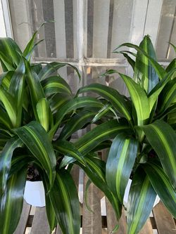 Dracaena Massangeana! Lush and Full! $25 Each! for Sale in Los Angeles,  CA