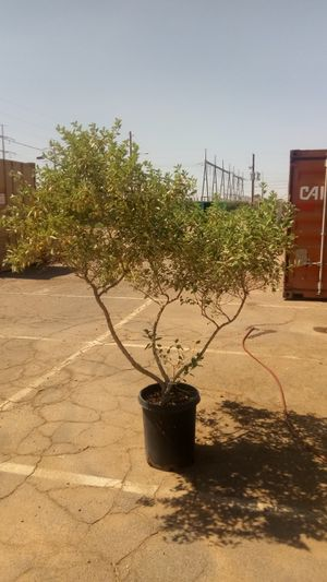 Arabian lilac 7 ft plus 15 gal size twice size of retail and heavy trunk for Sale in Tempe, AZ