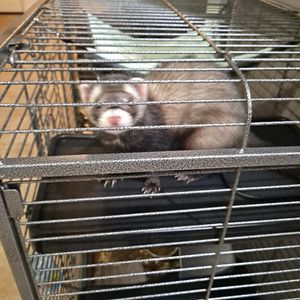 5 Month Old Ferret With Cage for Sale in Bradenton, FL