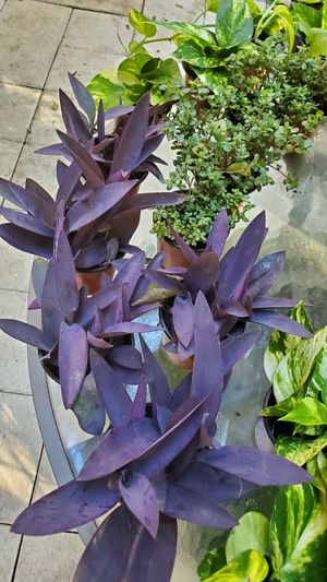 Purple Queen plants. $3 each for Sale in Lighthouse Point, FL