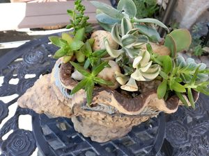 Live succulents for Sale in Citrus Heights, CA