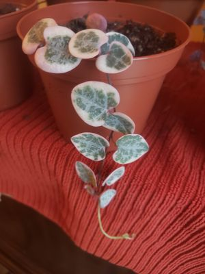 String of Hearts succulent plant- Variegated rare string of hearts plant- rooted and a beauty for Sale in Hacienda Heights, CA