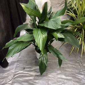 peace lily for Sale in Lynwood, CA