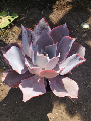 Echeveria afterglow for Sale in Ontario, CA