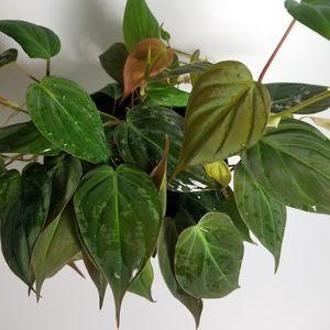 Philodendron Micans aka Rare Velvet Leaf Bronze Mican Vine live fully established plant 6 inch pot. Planta para interior. Plantes d'intérieur for Sale in Miami, FL