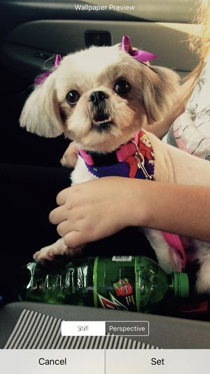Lost schitzu Westfield village Katy Tx for Sale in Katy, TX