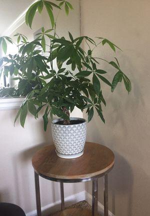 Money tree for Sale in Bradenton, FL