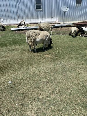 Sheep for sale for Sale in Fort Worth, TX