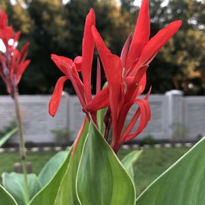 Beautiful Red Canna Plants for Sale in Lockhart, FL