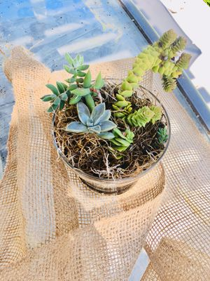 Rare succulent plant arrangement in glass planter for Sale in Milpitas, CA