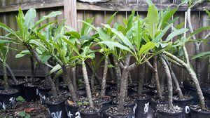 Plumeria plants $10 each for Sale in Gulfport, FL