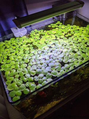 Amazon Frogbit for Sale in Altadena, CA