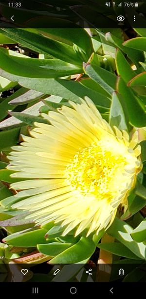 Ice Plant Carpobrotus (Sea Fig) for Sale in Sierra Madre, CA