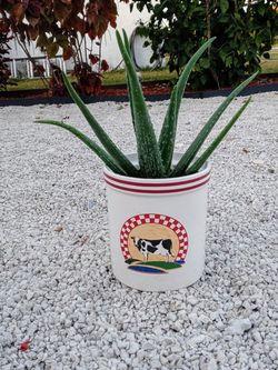 Aloe Vera plant for Sale in Lake Worth,  FL