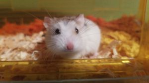 Hamster for Sale in Kennewick, WA