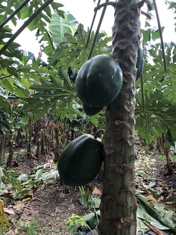 Papaya Fruit / Fruta