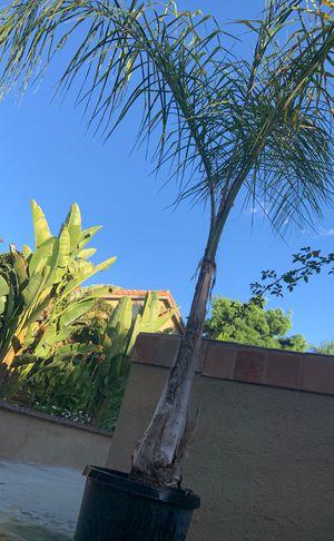Palma bonita for Sale in Corona, CA