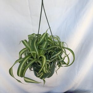 "Curly Spider Plant In 6"" Pot for Sale in Lynwood, CA"