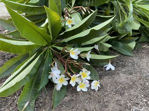 Plumeria cuttings $20 takes all for Sale in Ontario, CA