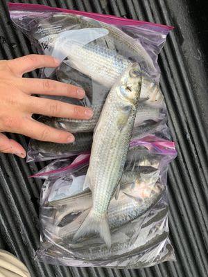 Fresh mullet bait for Sale in Chesapeake, VA