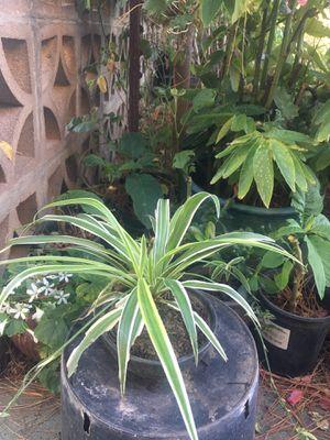 Spider plant in clay pot for Sale in Lodi, CA