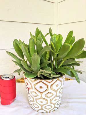 Frostbite Cotyledon Succulent Plants in White Gold Ceramic Planter Pot-Real Indoor House Plant for Sale in Auburn, WA