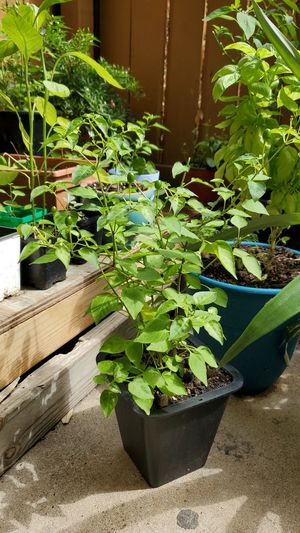 Chili plants for Sale in Fort Worth, TX