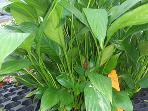 Starter Peace Lily for Sale in Zellwood, FL