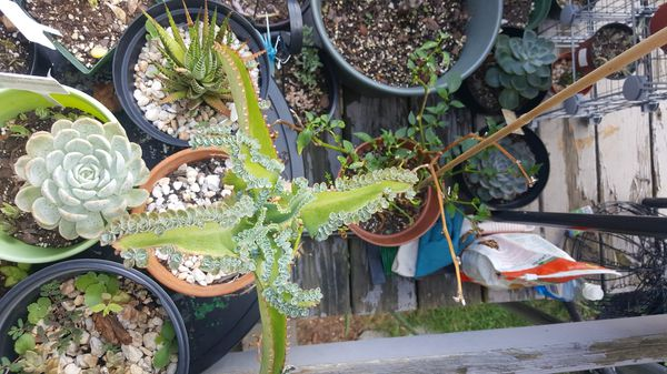 Mother of a thousand or Mexican hat kalanchoe
