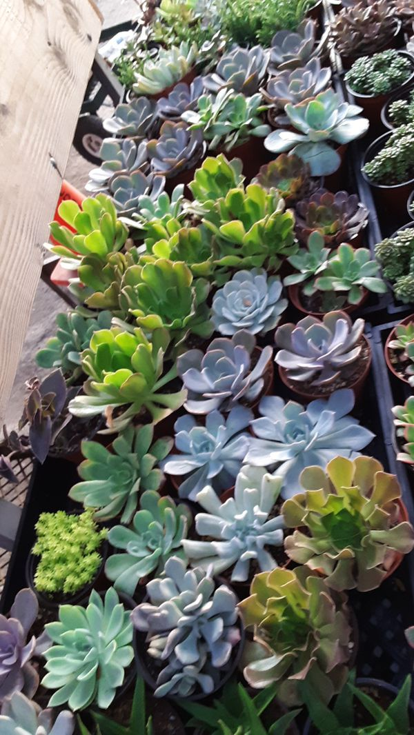 """4"""" pots with succulent plants $2.50 each and $45 for tray of 20"""