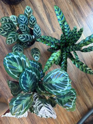 """6"""" $20 plants for Sale in Portland, OR"""
