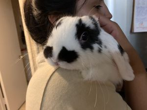 Male bunny for Sale in Downey, CA