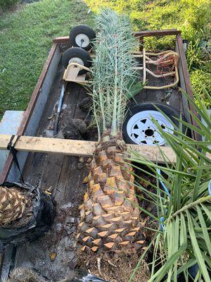 Palm tree field grown 3ft for Sale in Miramar, FL