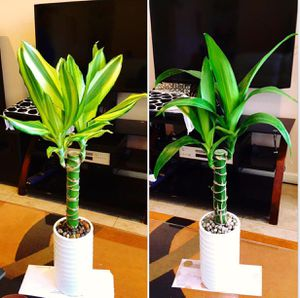 """Dracaena real live Indoor Houseplant ceramic pot 18"""" tall $10/each (combine shipping ok 3 or more items) for Sale in Garden Grove, CA"""