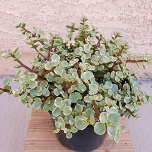 Elephants blush variegated plant. for Sale in Las Vegas, NV