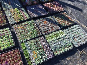 "2"" assorted succulents for Sale in South Gate, CA"