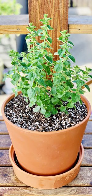 Live outdoor or indoor Greek Oregano herb plant in a terra cotta planter flower pot with base—firm price for Sale in Seattle, WA