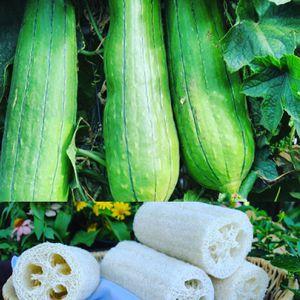 Loofah Sponge Seeds for Sale in San Antonio, TX