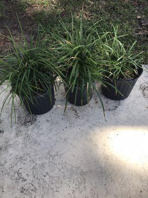 Three Liriope Plants for Sale in Orlando, FL