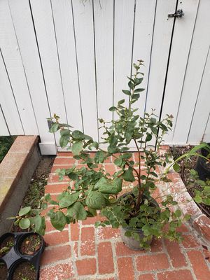 Organic Blueberry Plant for Sale in Arcadia, CA